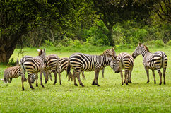 Zebry w Aberdare, Kenja Fotografia Stock