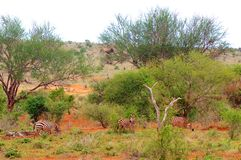 Zebry w Afryka Tsavo parku narodowym Zdjęcie Royalty Free