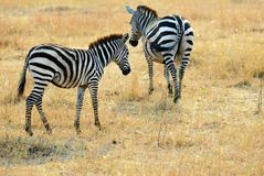 Zebry w Masai Mara, Kenja, Afryka Zdjęcie Royalty Free