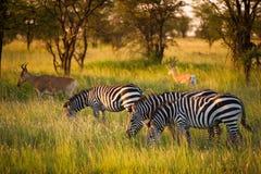 Zebry w mglistego wieczór afrykanina świetle Zdjęcia Royalty Free