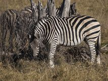 Zebry w Moremi gry rezerwie w Botswana, Afryka Zdjęcie Royalty Free