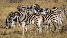 Zebry w Moremi gry rezerwie w Botswana, Afryka Obraz Stock