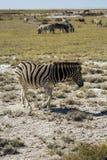 Zebry w Namibia Zdjęcie Royalty Free