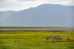 Zebry w Ngorongoro Obrazy Royalty Free