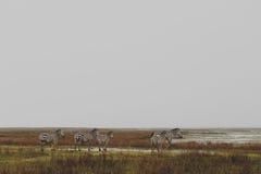 Zebry w Ngorongoro Fotografia Royalty Free