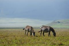 Zebry w Ngorongoro Zdjęcie Stock