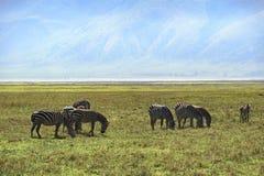 Zebry w Ngorongoro Zdjęcie Royalty Free