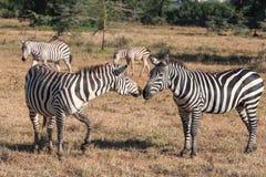 Zebry w obszarach trawiastych Obrazy Royalty Free