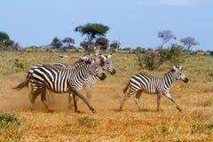 Zebry w Savana Obraz Royalty Free
