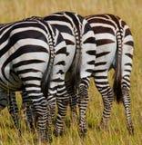 Zebry w sawannie Kenja Tanzania Park Narodowy kmieć Maasai Mara fotografia royalty free