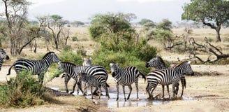 Zebry w Serengeti Fotografia Royalty Free