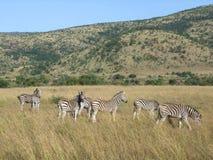 Zebry w Southafrica Obraz Stock