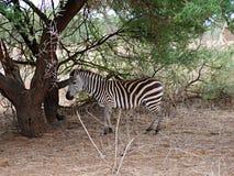 Zebry zakończenie na Tarangiri safari - Ngorongoro Obrazy Stock