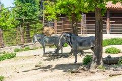 Zebry zwierzęcy łaciński imię Equus Portret afrykański zwierzę w parku Zwierzę z bielu i czerni lampasami fotografia royalty free