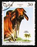 "Zebu αγελάδα indicus primigenius Bos, η σειρά ""ανάπτυξη βοοειδές-αναπαραγωγής "", circa 1984 στοκ φωτογραφίες με δικαίωμα ελεύθερης χρήσης"
