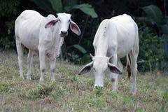 Zebu βοοειδή στη Κόστα Ρίκα Στοκ εικόνα με δικαίωμα ελεύθερης χρήσης
