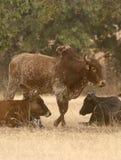 Zebu (τα βοοειδή) στην αφρικανική σαβάνα, Γκάνα Στοκ Εικόνα