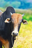 Zebu Royalty Free Stock Photos