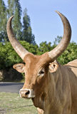 Zebu Royalty Free Stock Photography