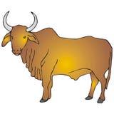 Zebu Stock Image