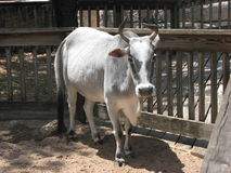 Zebu Stock Photography