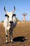 Zebu and baobabs Stock Image