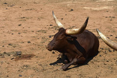 The zebu Stock Photos