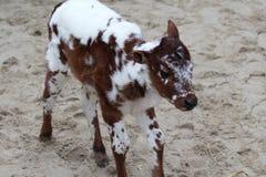 Zebu calf. Running over sand. Foto taken in Wildlands zoo in Emmen royalty free stock photos