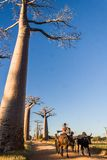Zebu cart and baobabs Royalty Free Stock Photography