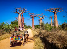Zebu cart and baobabs Stock Photos
