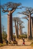Zebu cart and baobabs Royalty Free Stock Image
