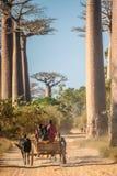 Zebu cart and baobabs Stock Photography