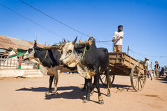 Zebu cart Royalty Free Stock Photography