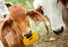 Zebu cattle Stock Photography