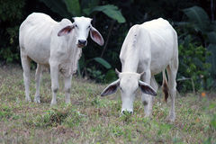 Zebu Cattle in Costa Rica Royalty Free Stock Image