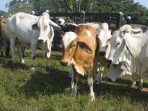 Zebu cattle Stock Photo