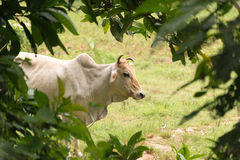 Zebu cattle Royalty Free Stock Photo