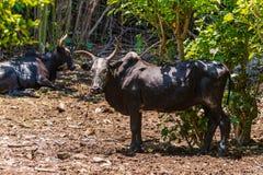 Zebu Cattle - Madagascar Royalty Free Stock Photo