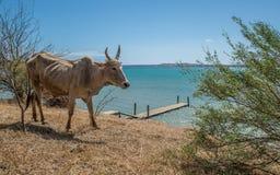 Zebu. In the coast of Madagascar Royalty Free Stock Image
