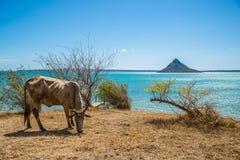 Zebu. In the coast of Madagascar Stock Photography