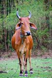 Zebu cow Royalty Free Stock Photos