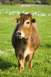 Zebu cow Stock Images