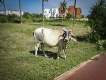 Zebu cow breed - Brahman. A cow with long ears grazes. On the lawn royalty free stock image