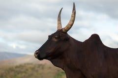 Zebu cow Royalty Free Stock Photo