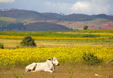 Zebu cow on a field of yellow flowers, hills in the background Royalty Free Stock Images