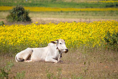 Zebu cow on a field of yellow flowers Royalty Free Stock Image