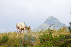 Zebu cow in the pasture, with a hill in the background Stock Image
