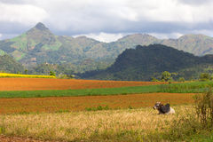 Zebu cow and plowed fields, hills and mountains in the backgroun Royalty Free Stock Images