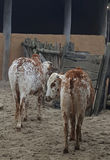 Zebu cows Stock Photography