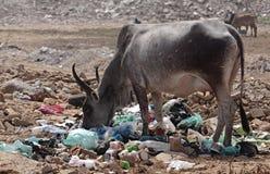 Zebu feeding with garbages Royalty Free Stock Image